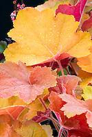 Heuchera Southern Comfort perennial foliage plant