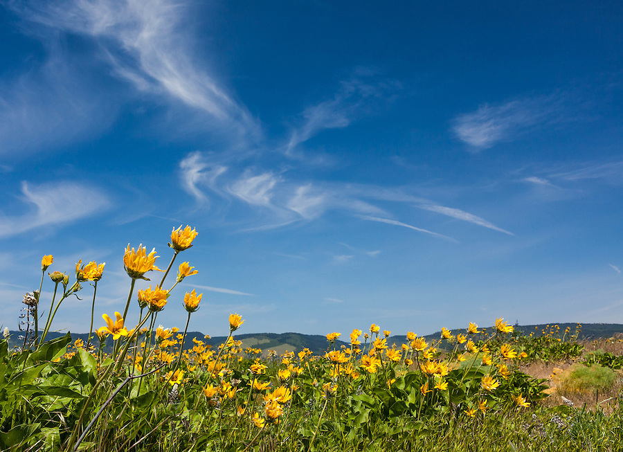 Yellow Balsamroot flowers point toward swirling cirrus clouds in a blue sky near the Columbia River Gorge in Oregon.
