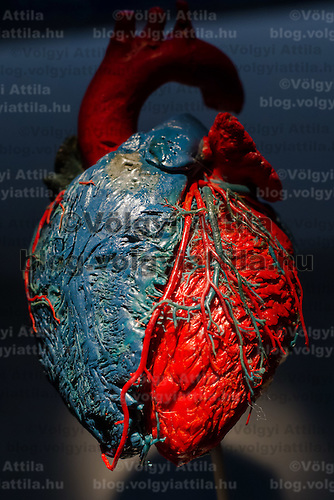 Preserved human heart on display at an exhibition in Budapest, Hungary on April 02, 2012. ATTILA VOLGYI