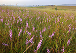 Nachusa Grasslands Natural Area, Illinois: Tallgrass prairie with native grasses and blazing star (Liatris sp)