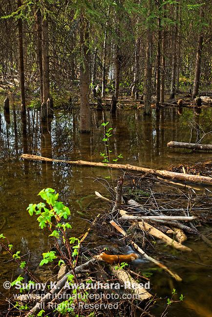 Beaver dam built along Monument Creek, Chena River State Recreation Area, Fairbanks, Interior Alaska, Summer.