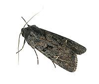 Black Rustic - Aporophyla nigra