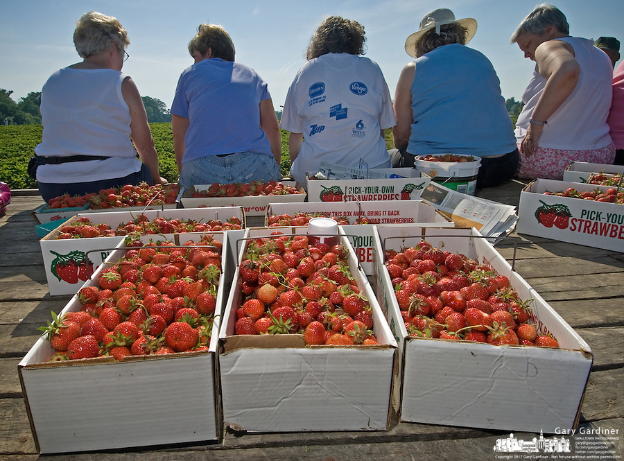 Fresh picked spring strawberries are gathered in cardboad containers on the floor of a farm wagon at a u-pick farm near New Albany, Ohio.<br />