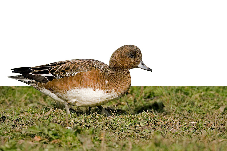 Wigeon Anas penelope L 45-47cm. Males is colourful and attractive. Forms large flocks outside breeding season. Sexes are dissimilar. Adult male has mainly orange-red head with yellow forehead. Breast is pinkish; rest of plumage is mainly finely marked grey except for white belly and black and white stern. In flight, has white patch on wing. Bill is pale grey and dark-tipped. In eclipse, resembles an adult female although white wing patch is still evident. Adult female is mainly reddish brown, darkest on head and back. Note, however, the white belly and stern. In flight, lacks male's white wing patch. Bill is grey and dark-tipped. Juvenile resembles adult female. Voice Male utters evocative wheeeoo whistle.