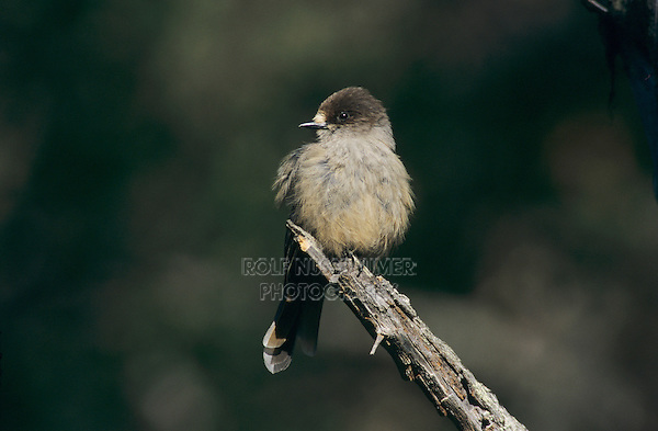 Siberian Jay, Perisoreus infaustus, adult, Pyhatunturi National Park, Finland, Europe