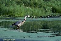 HN01-032z  Great Blue Heron - adult bird in pond in Maine - Ardea herodias