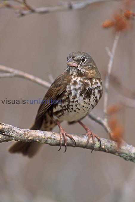 Fox Sparrow (Passerella iliaca), North America.
