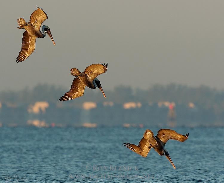 Brown Pelican Hunting at Sunrise, Eastern Brown Pelican, Pelecanus occidentalis carolinensis, Sanibel Island, Florida