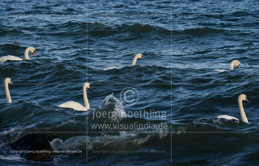 GERMANY, baltic sea, island Ruegen, swimming white swan