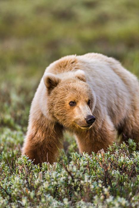 Grizzly bear, Denali national park, interior, Alaska.