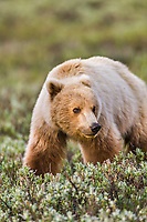 Grizzly bear, Denali national park, Interior, Alaska.