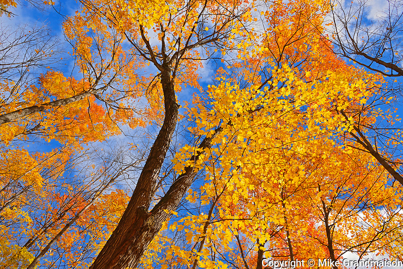 sugar maple trees (Acer saccharum), Parry Sound, Ontario, Canada