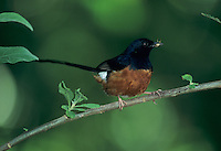 White-rumped Shama, Copsychus malabaricus, male, Kauai, Hawaii, USA