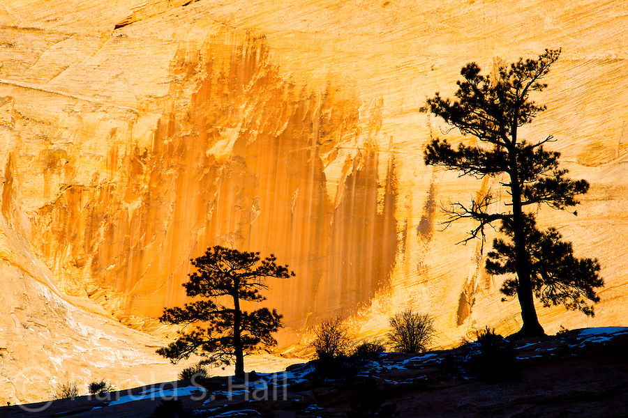 Pine trees are silhouetted against the sunrise lite walls of Zion National Park Utah.