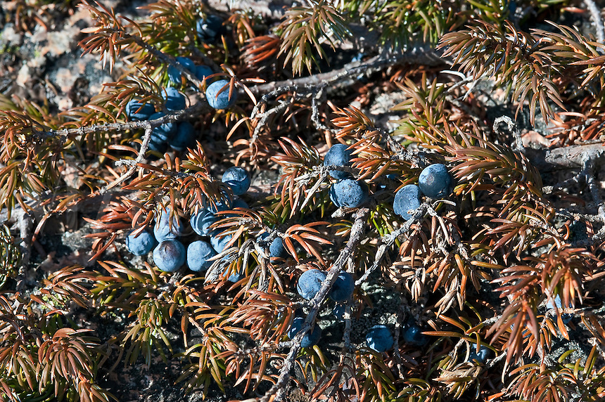Wild blueberries, Maine, ME, USA