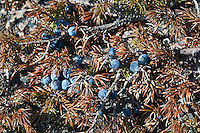 Wild blueberries, Maine, ME, USA