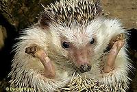 MA42-003z  African Pygmy Hedgehog - Erinaceus albiventris