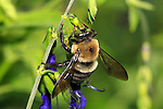 A Carpenter Bee Nactaring On Blue Flowers, Green Background, Xylocopa micans