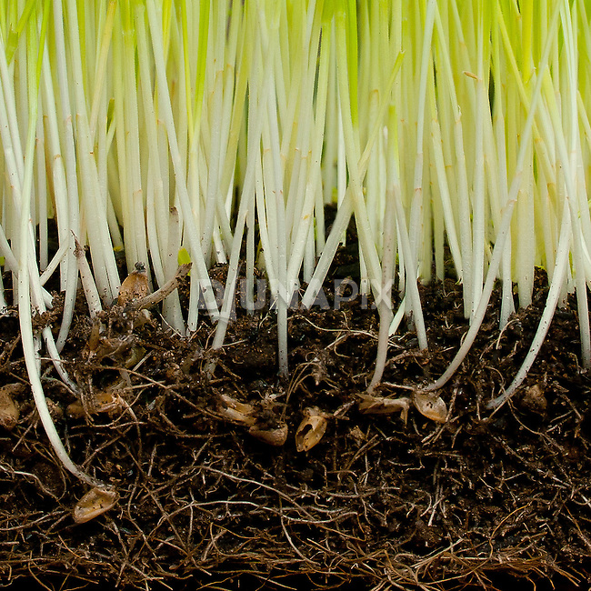 Sprouting wheatgrass represents EARTH --one of the Balinese five elements that inspired a new take on a traditional healing center.