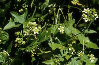 Rotfrüchtige Zaunrübe, Zweihäusige Zaunrübe, Bryonia dioica, White Bryony