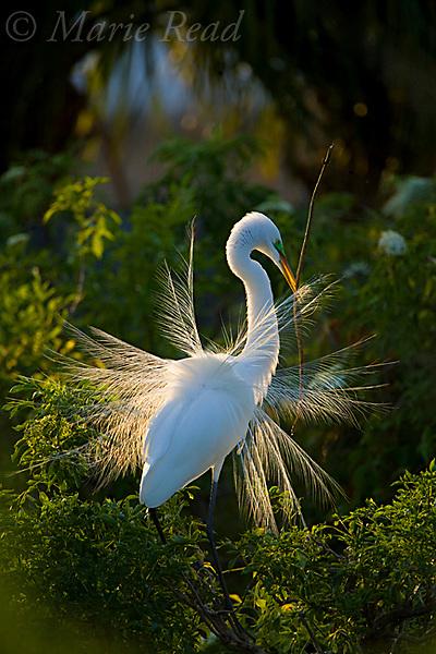 Great Egret (Ardea alba), performing courtship display, backlit, Orlando, Florida, USA