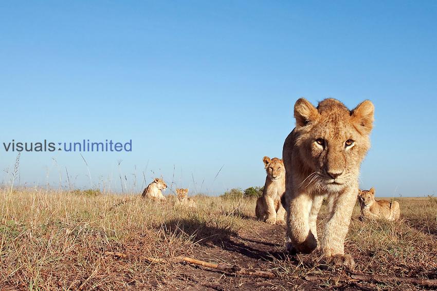 African Lion cubs (Panthera leo), Masai Mara, Kenya.