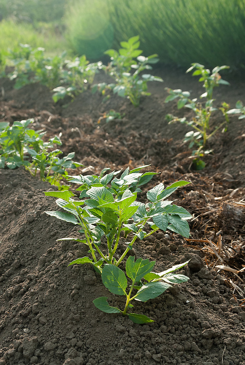Potato 'Juliette', late May. The soil is drawn up in ridges around the growing potato plants, and the trench in between is filled with farmyard manure.