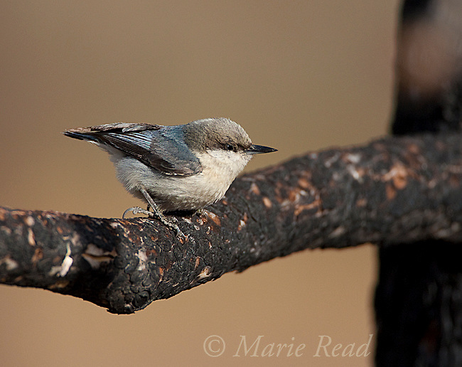 Pygmy Nuthatch (Sitta pygmae), June Lake, California, USA. Shows large hind claw, and adaptation for clinging to bark while moving around on tree limbs and trunks.