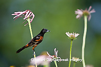 01618-009.18 Orchard Oriole (Icterus spurius) male on Pale Purple Coneflower (Echinacea pallida) in flower garden Marion Co. IL