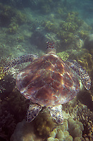 Océanie/Australie/Queensland/env de Port Douglas/Iles Douglas/Iles Low: Grande barrière de Corail Tortue de mer