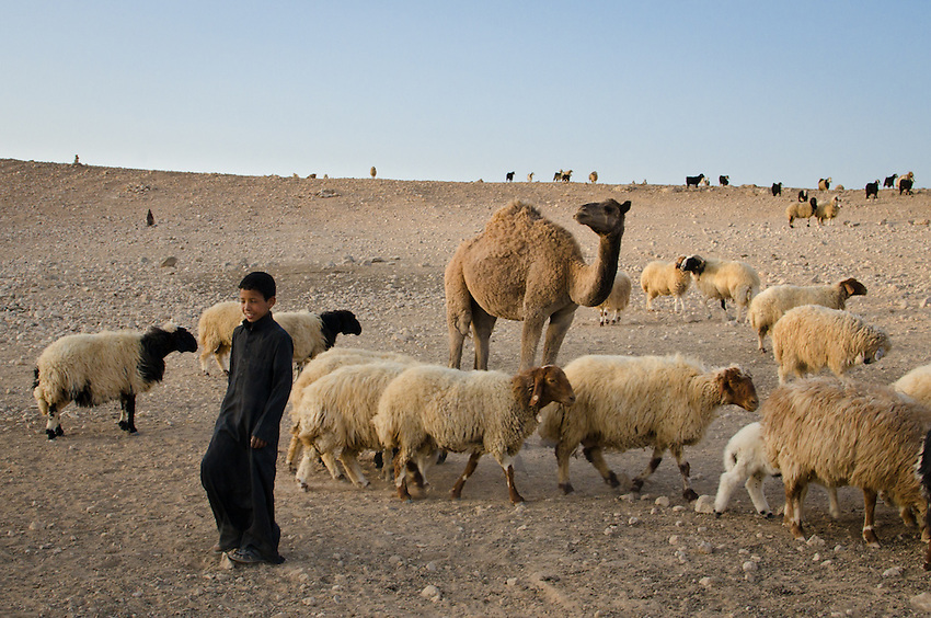 A Bedouin boy with his family's herds. They rarely move, since there are few places left open for grazing - instead, fodder and water are delivered to their tent by truck.