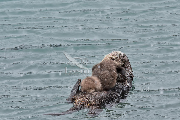 Sea Otter (Enhydra lutris) mom with very young pup in sheltered bay on Prince William Sound, Alaska.  Spring.   Pup is nursing.