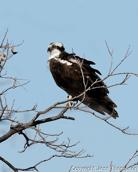 Osprey, Fish Hatchery, Inks Lake State Park, Texas