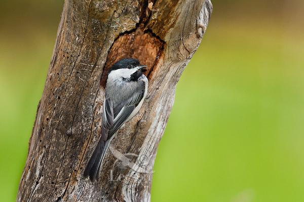 Black-capped Chickadee (Parus atricapillus) in nesting cavity. Spring. Lake Ontario.