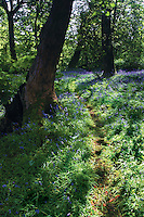 Bluebells at Cowden Hall, Neilston, East Renfrewshire<br /> <br /> Copyright www.scottishhorizons.co.uk/Keith Fergus 2011 All Rights Reserved