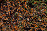Monarch Butterflies over-wintering in Michoacan, Mexico.