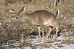 White-tailed deer - doe urinating