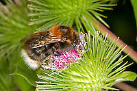 Tree Bumblebee - Bombus hypnorum - queen feeding on Burdock.