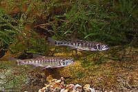 Elritze, Pfrille, Phoxinus phoxinus, minnow