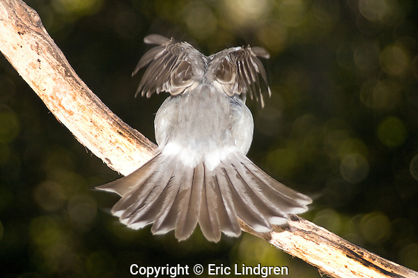 Grey Butcherbird shows owl pattern on takeoff, Brisbane Australia.   //   Grey Butcherbird: Artamidae (Cracticidae): Cracticus torquatus. Length to 32cm, wingspan to NNcm, weight to 100g. Widespread throughout Australia except for northern coastal areas, and inland west from Cairns in Queensland to Port Hedland in Western Australia. Occurs in open woodland, towns, and cities where it is a frequent visitor seeking food from humans. Ebullient, vigorous, aggressive, with rollicking calls characteristic of the dawn chorus. Feeds on a variety of arthropods, and smaller vertebrate prey that it may impale on a thorn or in a fork to hold it in place white it feeds. Here, as it takes off, a brief flash of an owl pattern - plump body, large head and two large eyes - may be enough to deter a predator approaching from behind for a fraction of a second and allow the bird to survive.   IUCN Status:   Least Concern.  //