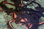 A breeding ball of Red-bellied Newts ,Taricha rivularis, Mendocino County, California, USA.