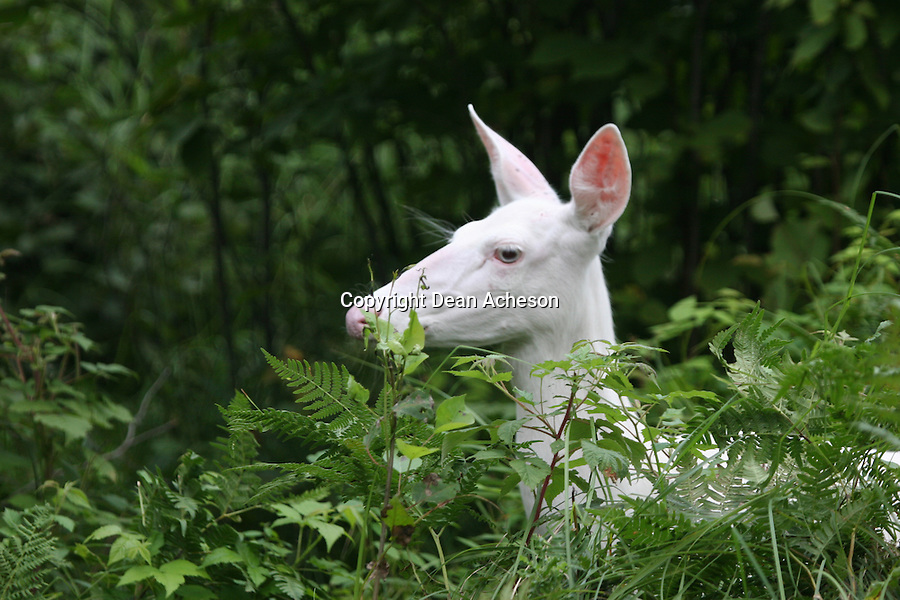 An albino deer emerges from the green undergrowth of a forest. Albino deer are extremely rare, but some areas hold pockets of albino deer.