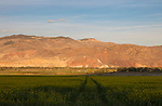 Idaho, East Central, Custer County, Challis. Canola and the red rock hills of the Challis Valley on an autumn evening.