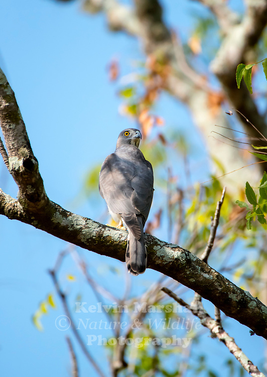 Shikra (Accipiter badius) is a small bird of prey in the family Accipitridae found widely distributed in Asia and Africa where it is also called the little banded goshawk.