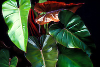 Leaves of Emerald Queen philodendron