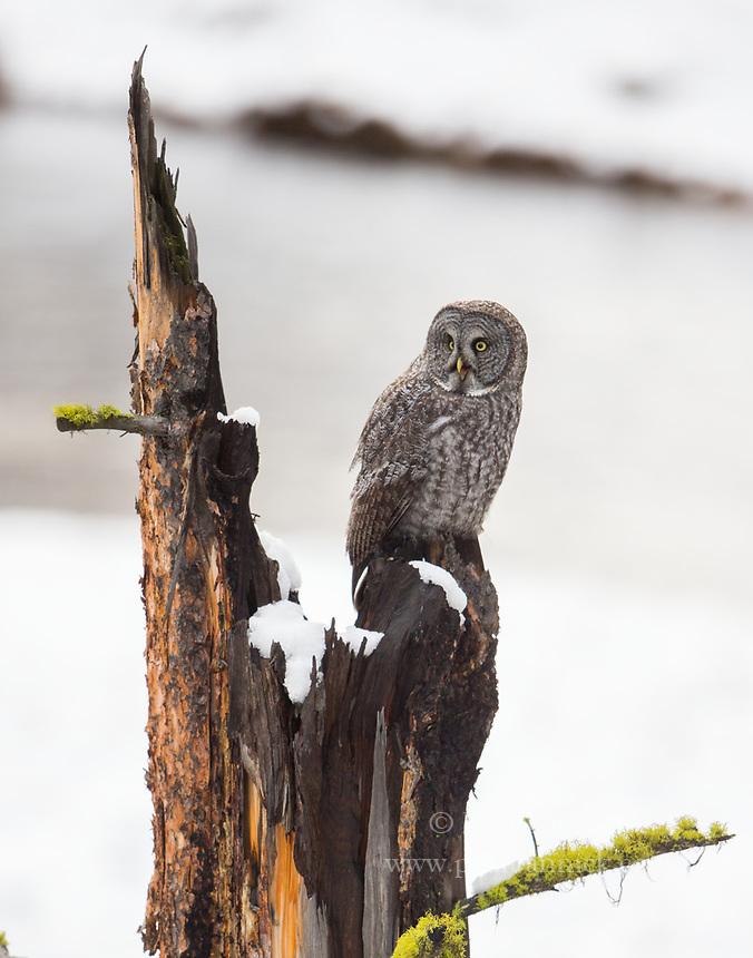 A juvenile Great Gray Owl begs to be fed from a snag beside a river.  (Idaho)