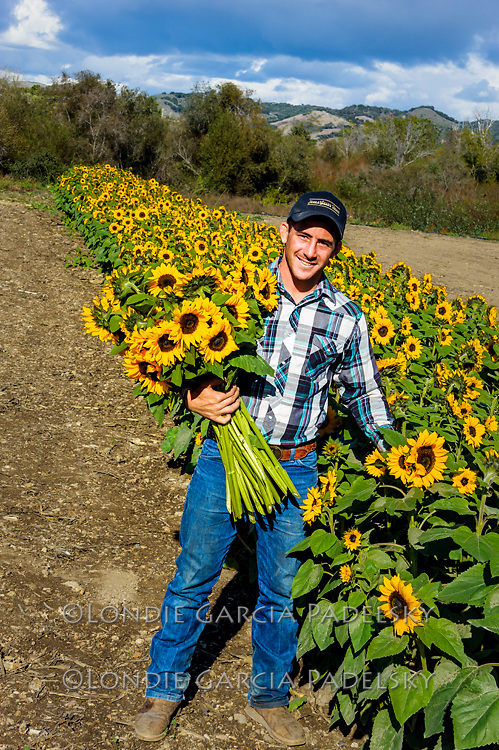 Jake picking sunflowers for the country store at Avila Valley Barn in Avila Valley, San Luis Obispo County, California