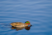 Green-winged Teal (Anas crecca) drake searching for food.  Pacific Northwest. Winter. The green-winged teal is one of North America's smallest ducks, weighing around 12 ounces.  It has a wingspan of 23 inches and an overall length of 14 inches.