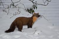Baummarder im Winter bei Schnee, Baum-Marder, Edelmarder, Edel-Marder, Marder, Martes martes, European pine marten