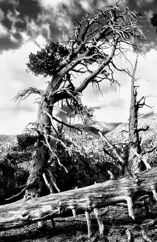 GALENA PEAK ANCIENT LIMBER PINES